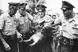 chicago-pig